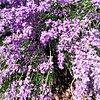 Lavenderwoman