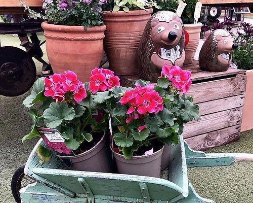 Bedding plants including geraniums