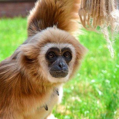 Rasmaya, the beautiful Lar gibbon