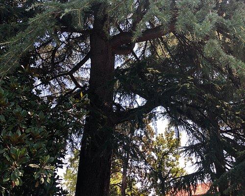 Il grande CEDRO del LIBANO che si trova nel Parco …