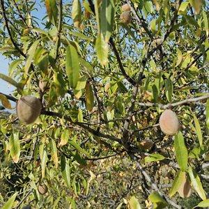 Las almendras en el árbol.