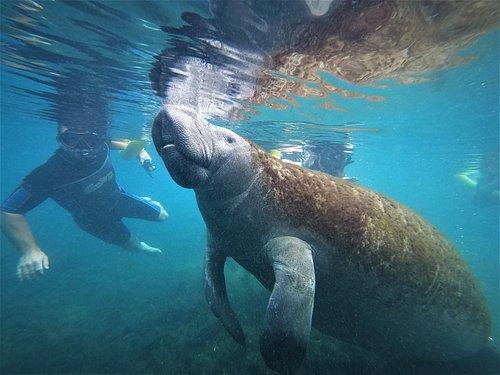 Swim with the Manatees!