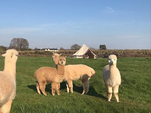 Big fluffy Alpacas ready to welcome guests into the bell tents