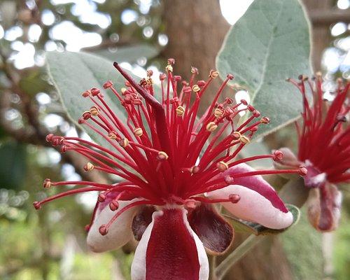 Bienvenidos a Tibasosa Tierra de Feijoa la fruta de la eterna juventud 🌺🌼