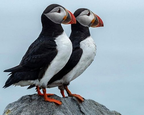 A pair of puffins on Eastern Egg Rock.
