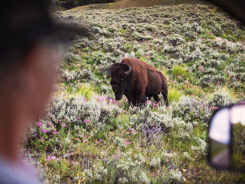 Wildlife Safari in Yellowstone