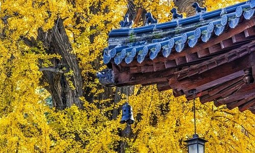 The millennium ginkgo tree in Ancient Guanyin Temple is a beautiful picture in autumn.  It is planted by emperor Taizong of Tang.