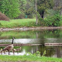 Geese at Hope Mill