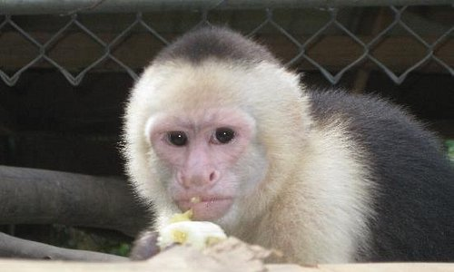 White face monkey Lucy
