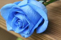 BlueRoseIs