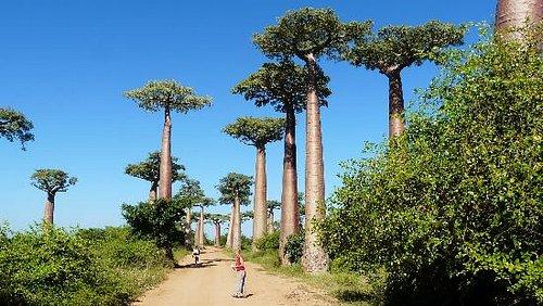 Allée des baobabs de jour
