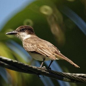 Loggerhead Kingbird at the T.J. Ranch, Arecibo