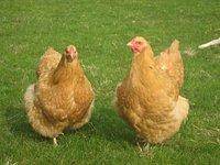 ChickenJ99