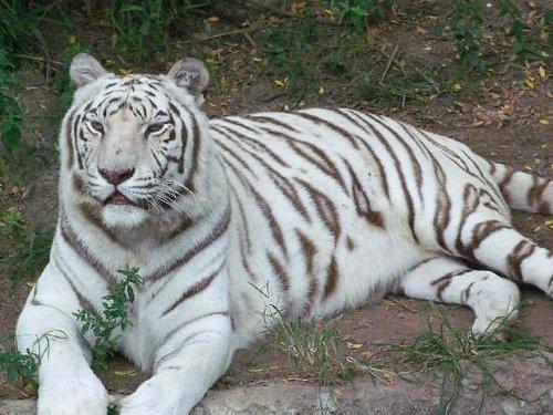 Tiger...so pretty!