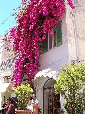 Bougainvillea in streets of Capri