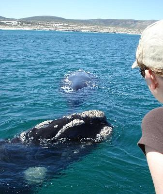 Whale watching boat trips in Hermanus are amazing