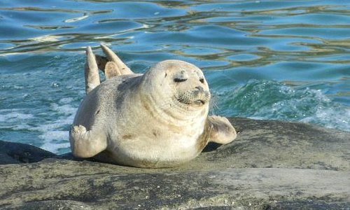 Harbor seal poses for photographer
