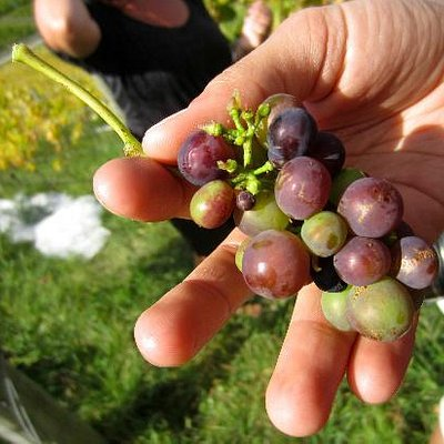 grapes used for wine