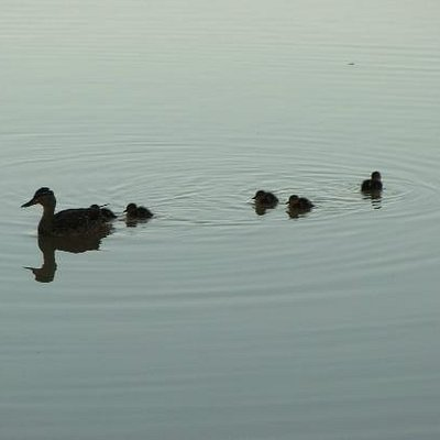 Mommy duck and babies