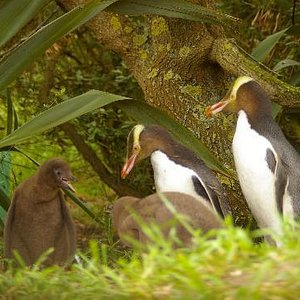 Two adult penguins with their young chicks