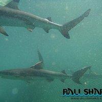 Black Tip Reef Sharks!