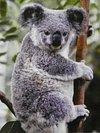 koalamodoki