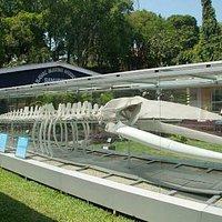 Whale's skeleton