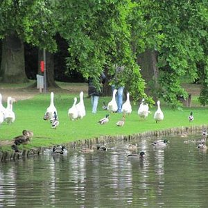 ducks in search for food