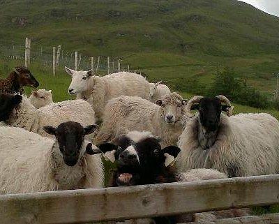 Sheep at the Cultural Centre