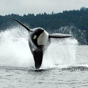 Resident Orca ©©