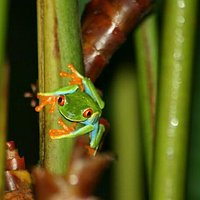 The Red-eye tree frog was there!