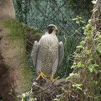 Pelegrine falcon