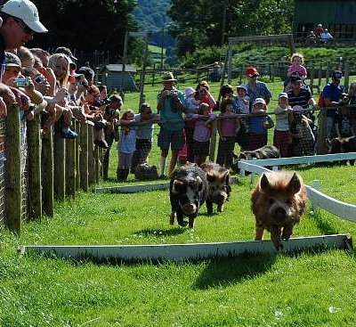 Pig Racing at Cantref