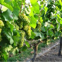 Chenin Blanc bunches ready to be harvested