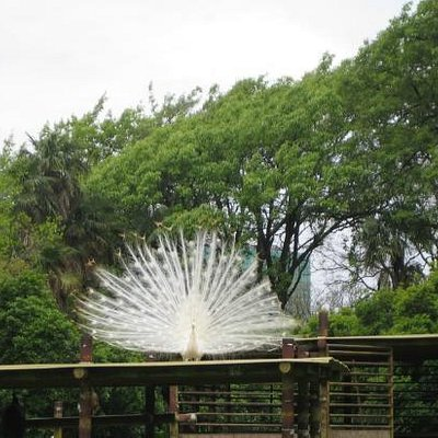 White peacock display