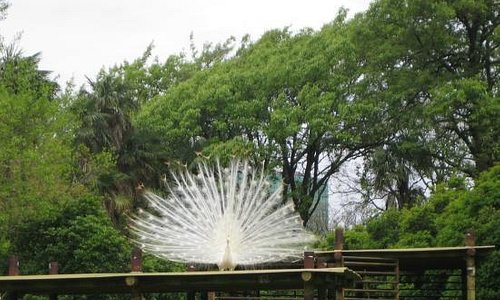 White peacock display