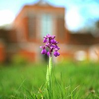 One of the varieties of orchid that appear each spring in our wild garden.