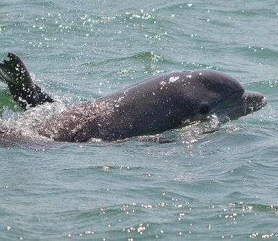 Porpoise in the ocean close up
