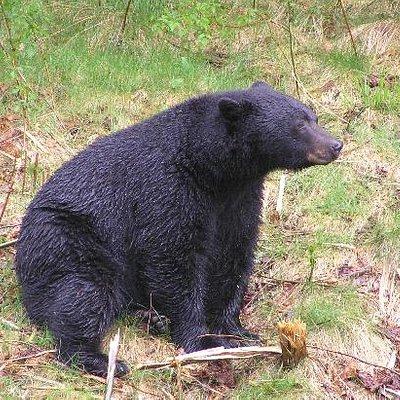 Vancouver Island Black Bear just waking up from hibernation.