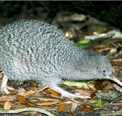 Kiwi on Kapiti Island