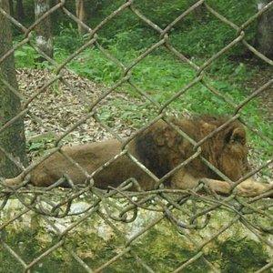 Lion Nishu
