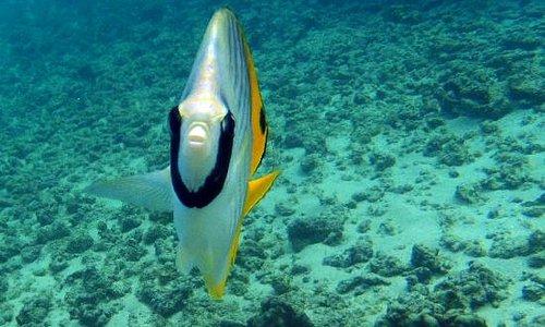Threadfin butterflyfish (Princeville, HI)