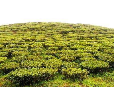 Tea Estate of Darjeeling