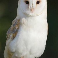 Cupid the Barn Owl