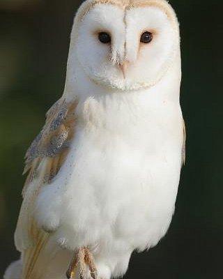 Cupid the Barn Owl