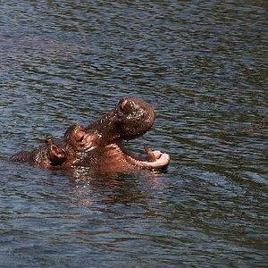 Hippo in Mzima Springs Kenya