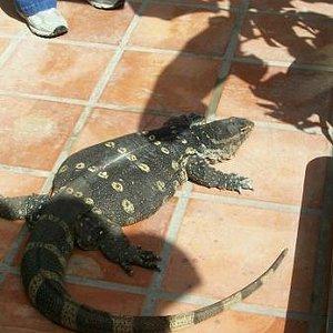 Random lizard at Museum of the Weird