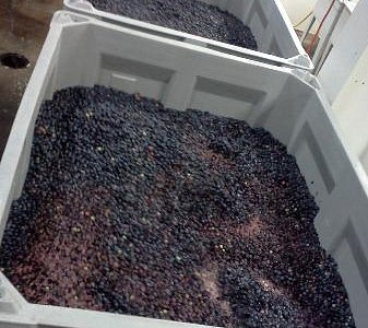 Grapes fermenting galore!