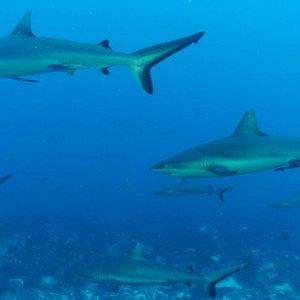 Les requins de Tiputa