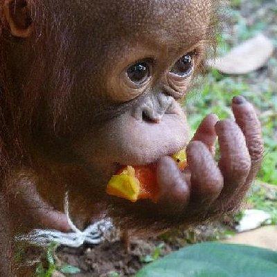 Ali the orangutan